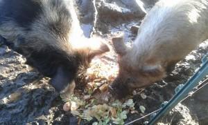 pigs christmas dinner