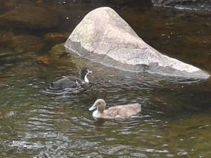 pet ducklings