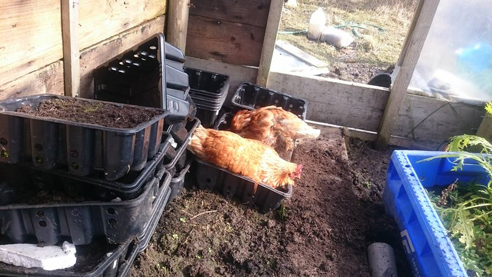 hens in polytunnel