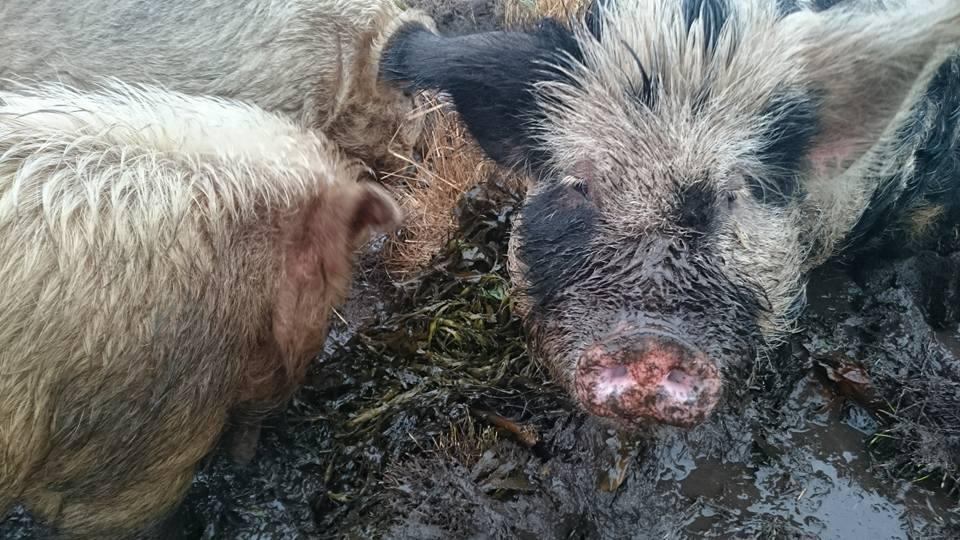 pigs seaweed